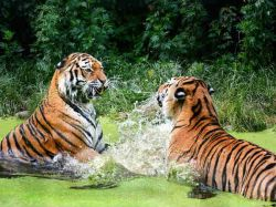 International Tiger Day 2021 Date History And Significance Quotes And Slogans In Kannada